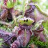 Cephalotus follicularis \'Giant form\'